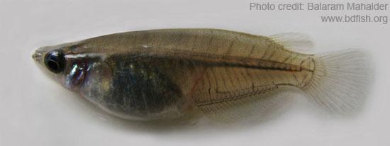 কানপোনা, Estuarine ricefish, Oryzias melastigma