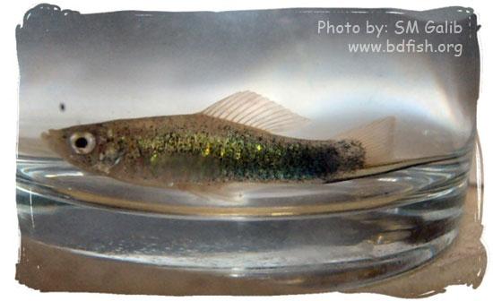 সবুজ সোর্ডটেল, Green Swordtail, Xiphophorus hellerii (male)