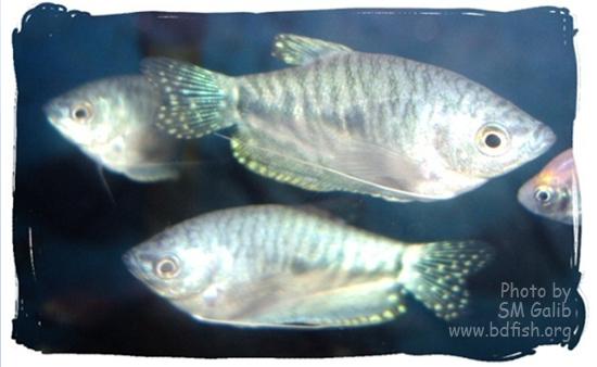 নীল গোউরামি, Blue Gourami, Trichogaster trichopterus