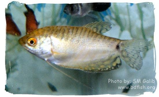 সোনালী বা হলুদ গোউরামি, Golden or Yellow Gourami, Trichogaster trichopterus