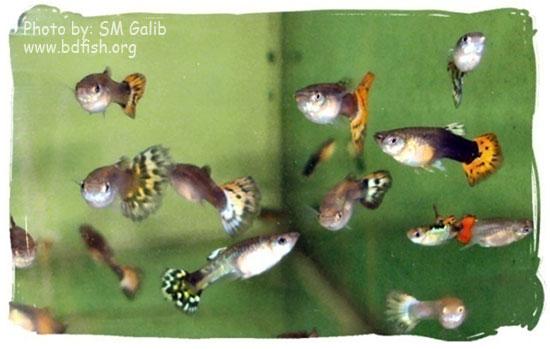 গাপ্পি, Guppy, Poecilia reticulata