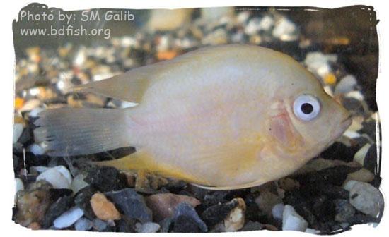 প্যারোট, Parrot, Cichlasoma citrinellum x Cichlasoma synspilum, White variety