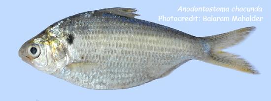 কই পুঁটি, Chacunda gizzard shad, Anodontostoma chacunda