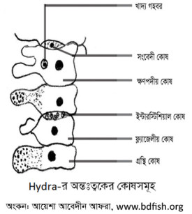 হাইড্রার অন্তঃত্বকের কোষসমূহ