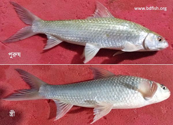 পুরুষ ও স্ত্রী বাটা মাছ