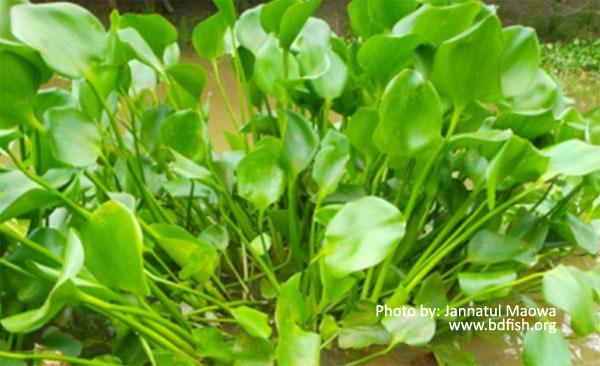 কচুরিপানা: বাংলাদেশের জলাশয়ে বহুল প্রাপ্ত একটি ভাসমান জলজ আগাছা